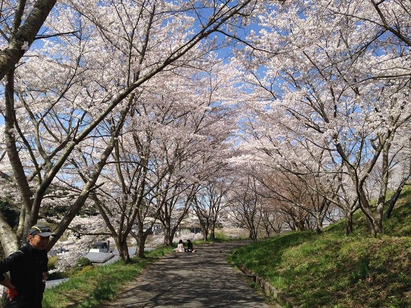 清見台南斜面の桜