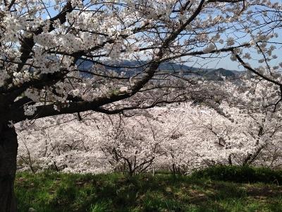 美加の台スーパーはやし裏側の桜
