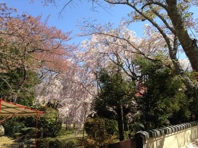 加賀田神社前のお宅の枝垂れ桜