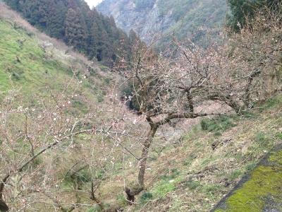 賀名生の梅林は三分咲き