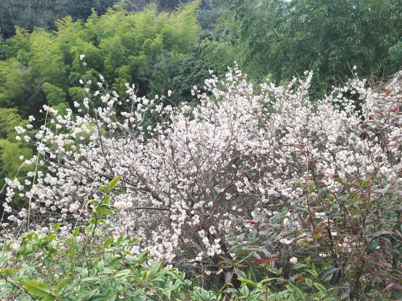 トトロ街道の山桜?