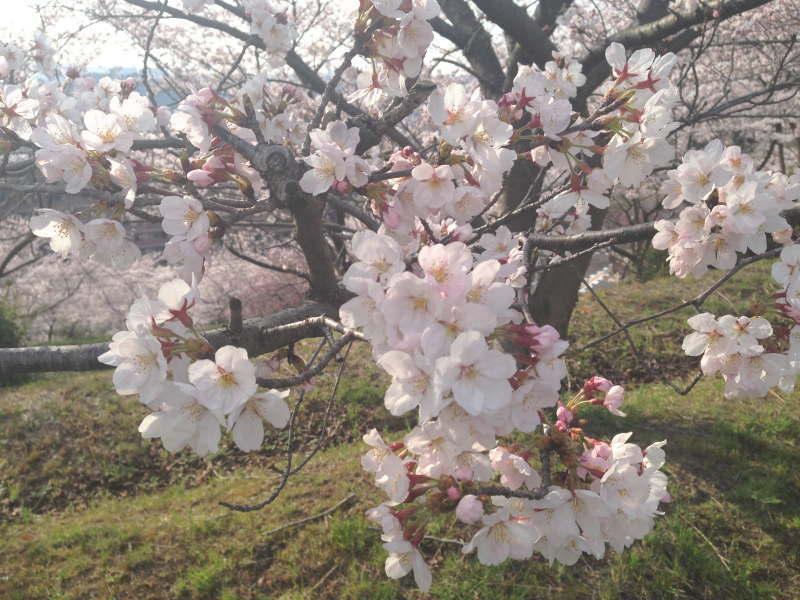 美加の台の桜