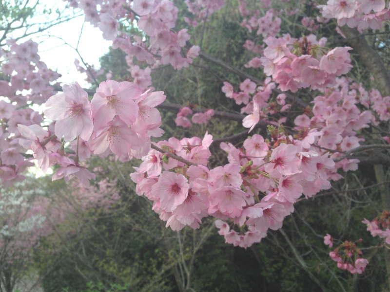 美加の台の桃色の桜