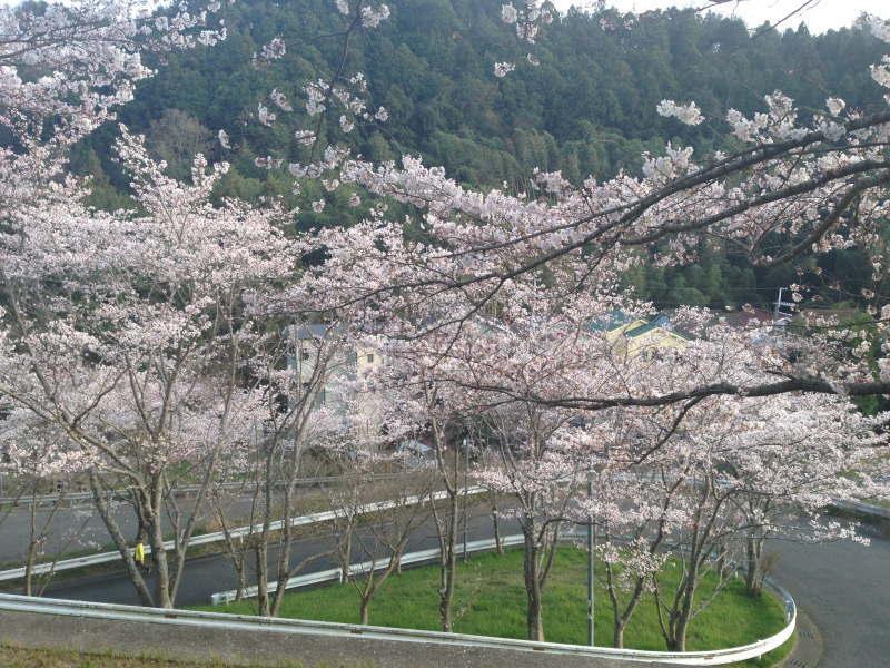 清見台の桜