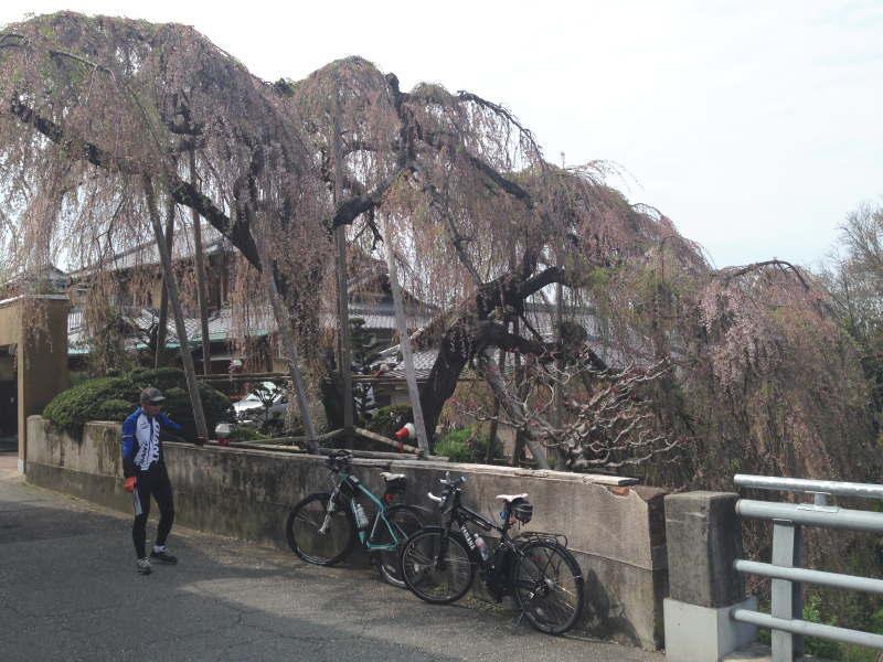 百滝桜に到着