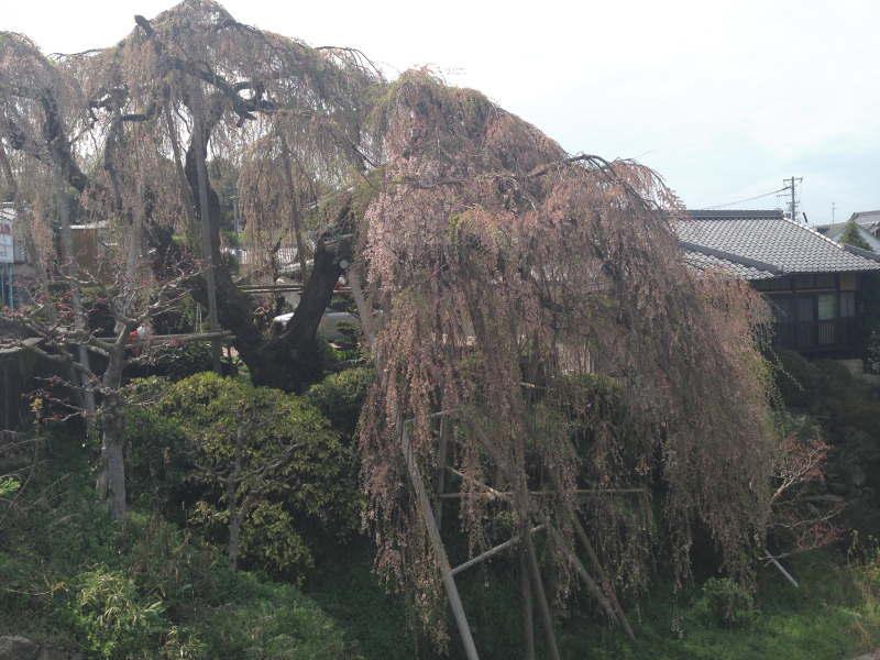 百滝桜を川の側から見る