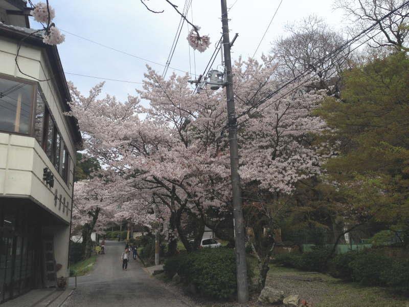 天野山金剛寺の桜