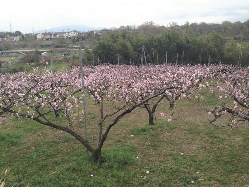 天野街道沿い、小山田の桃畑