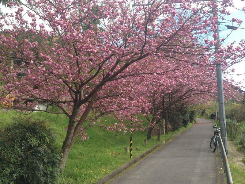 トトロ街道の八重桜(天見駅前)