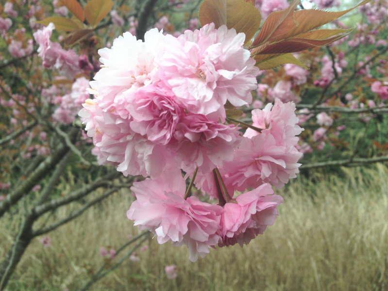 トトロ街道の八重桜(天見~千早口)