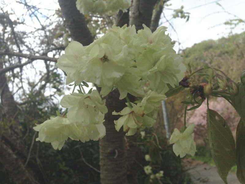 トトロ街道の白い八重桜(天見~千早口)