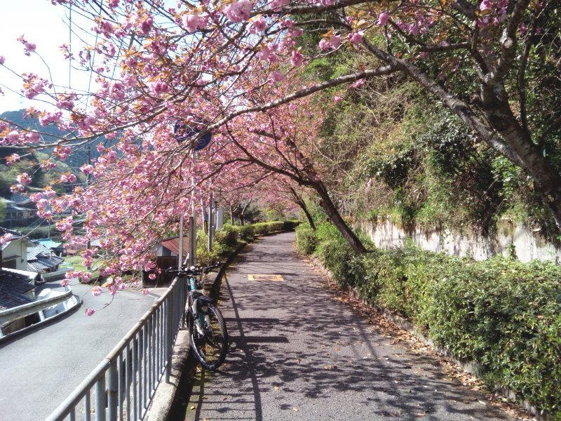 トトロ街道は八重桜が満開