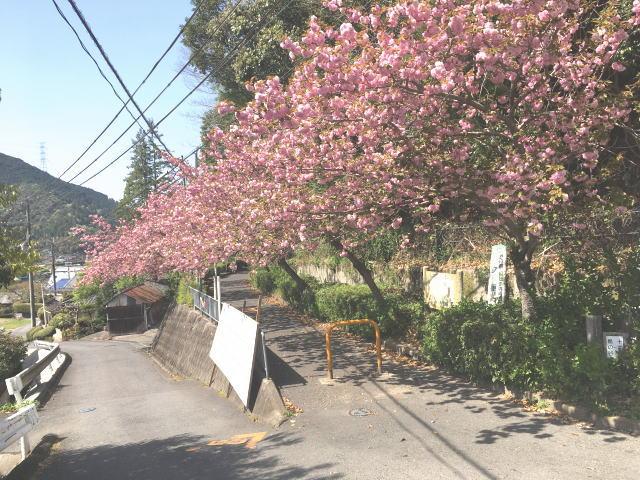 トトロ街道終点の八重桜