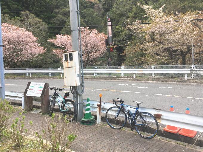 滝畑ダム湖畔レストラン前の桜