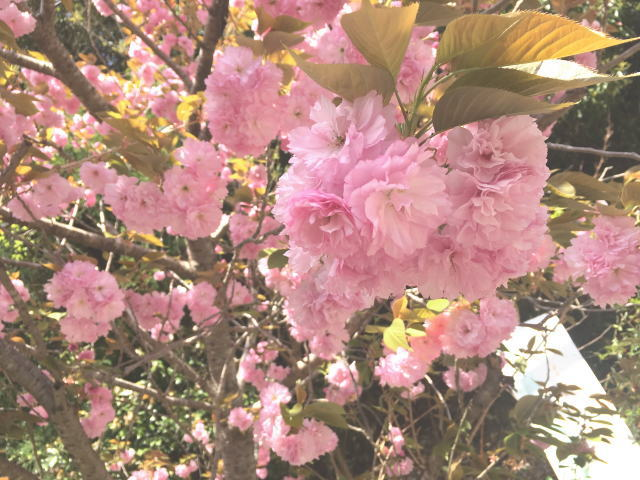 八重桜@トトロ街道(南海高野線旧線跡)