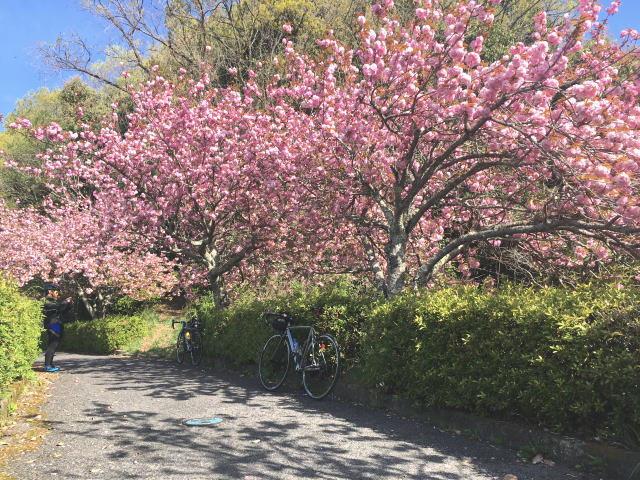 八重桜@トトロ街道