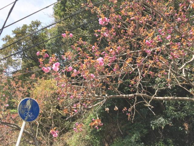 八重桜@トトロ街道終点