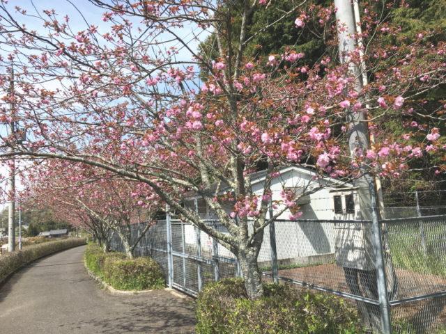 八重桜@天見駅近く