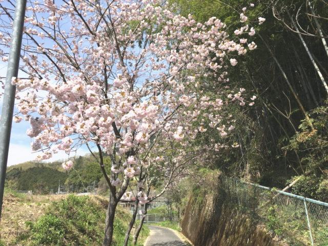 八重桜@千早口駅南側